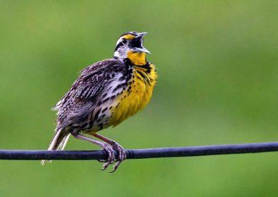 Eastern Meadowlark (3)