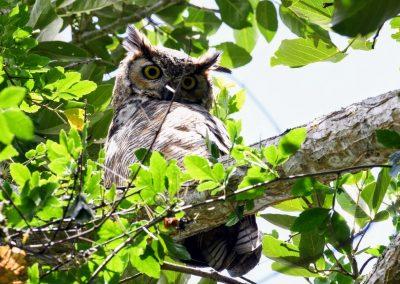 great horned owl (4)