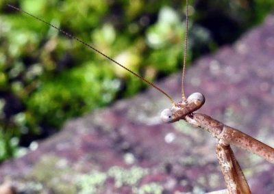 praying mantis (3)