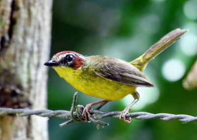 rufous-capped warbler (3) (1)