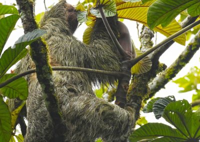 three toed sloth (4)