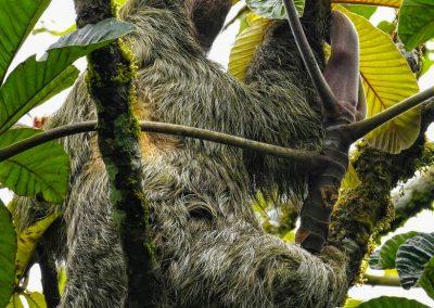 three toed sloth (5)