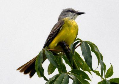 tropical kingbird (1)