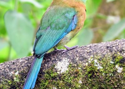 turquoise-browed motmot (1) (1)