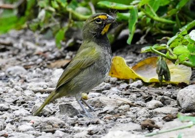 yellow-faced grassquit (2)